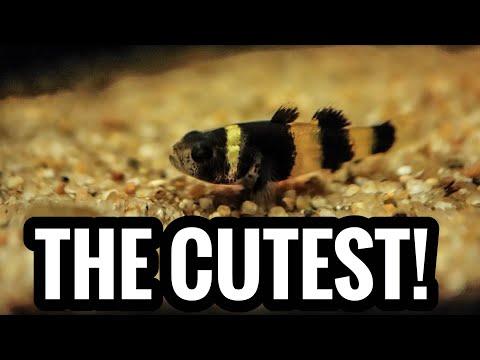 Bumblebee Gobies - My Smallest Aquarium Fish!