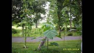 Paulownia Tomentosa Tree