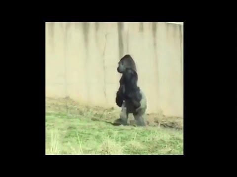 Strange Sight: Gorilla Named Louis Walks Like A Human At Philadelphia Zoo