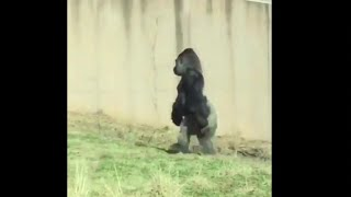 Strange sight: Gorilla named Louis walks like a human at Philadelphia Zoo
