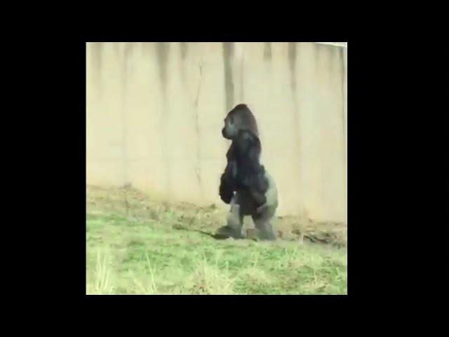 O gorila que camiña como un humano para non mancharse as mans