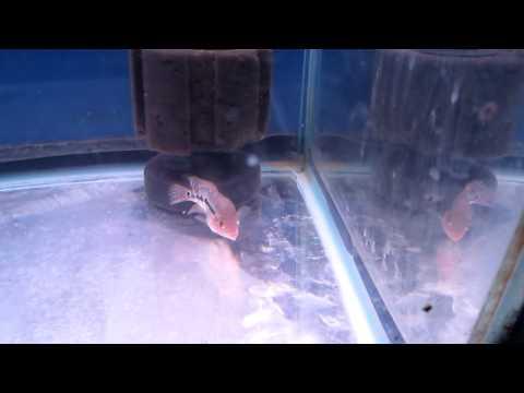 ปลาหมอสีแม่กลอง 24