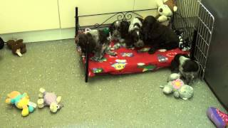 Little Rascals Uk Breeders New Litter Of Chocolate Cocker Spaniels