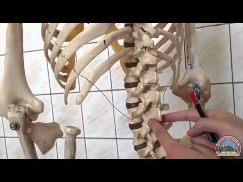 Anatomy of the Thoracic Cage