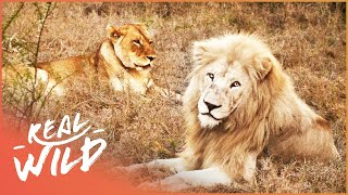 Long Distant Lion Lovers Meet For The First Time! | Extraordinary Animals