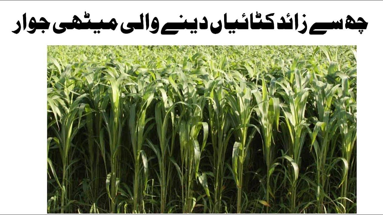 Download Sorghum Sudan Grass  Sorghum Seed  Sorghum Cultivation  Sorghum Fodder  Sorghum Silage /Hindi/Urdu