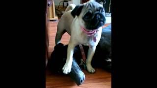 Funny Pug & Greyhound Having A Little Play Fight
