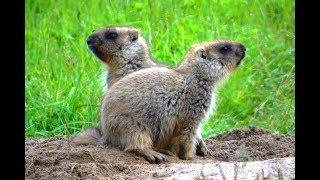 Сурок байбак. Семья сурка. ( Marmota bobak )