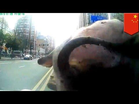 Cops run down buffalo: Dashcam records rampaging water buffalo's final moments in Chinese streets