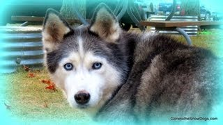 Are Siberian Husky Puppies Easy to Train?  - Fan Friday