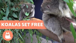 RESCUE KOALAS RETURN HOME After BURNED in WILDFIRES 🐨🌿