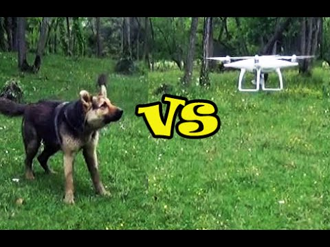 German Shepherd Dog Meets DJI Phantom 4 Quadcopter For The First Time - Dog vs Drone