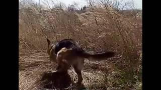 Ветер в голове . Немецкая овчарка веселится / приколы с собаками