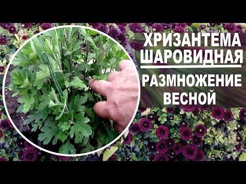 Шаровидные хризантемы весной  Как рассадить для хорошего цветения