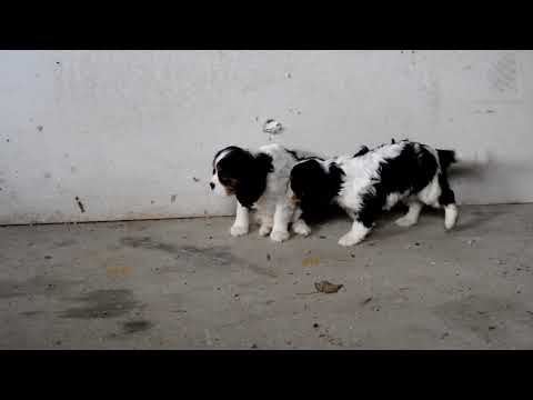 Sam Yoder's King Charles Cavalier Puppies