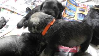 Miniature Schnauzers - Grooming Time
