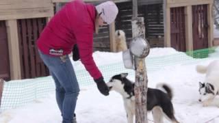 Быстрее ветра: На Камчатке возрождают ездовое собаководство.