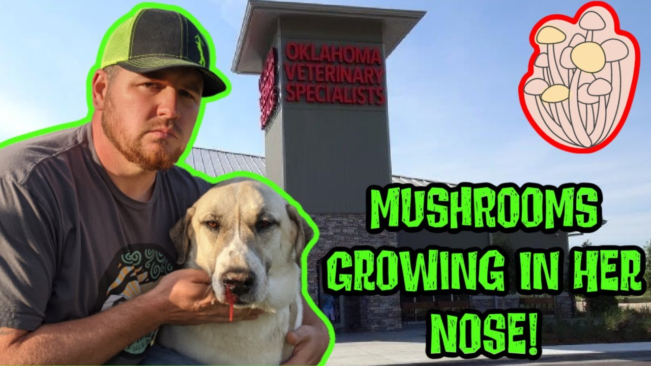 Rare Fungus Almost Killed Our LIVESTOCK GUARDIAN DOG! Mushrooms Growing In Her Nose!