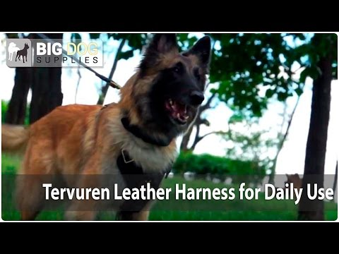 Rare Dog Breed Video - Amazing Looking Tervuren in Super Stylish Dog Harness