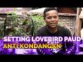 Gak Pernah Kondangan Ternyata Begini Setting Lovebird Paud Agar Selalu Moncer Di Gantangan  Mp3 - Mp4 Download