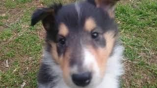 コリーの子犬 生後43日目。お庭遊び。