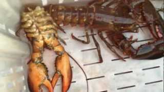 Lobster Shedding it's Old Shell for a New One