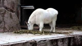 видео Снежная коза