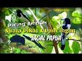 Pancingan Pikat Jagal Papua Di Jamin Paling Ampuh Cocok Juga Buat Masteran Agar Cepat Gacor  Mp3 - Mp4 Download