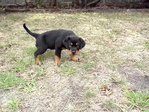 Kane the 8 week old Rottweiler. - YouTube