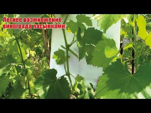 Размножение винограда пасынками летом