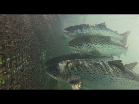 The Reality Of Canadian Farmed & Wild Salmon....... You Can Make a Difference