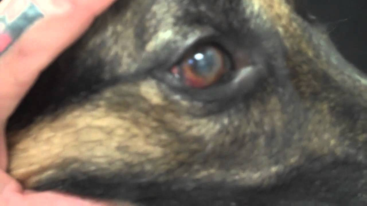 Pannus A Common Eye Problem Seen In The German Shepherd Youtube