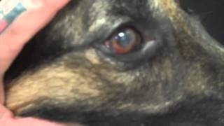 Pannus,  A Common Eye Problem Seen In The German Shepherd