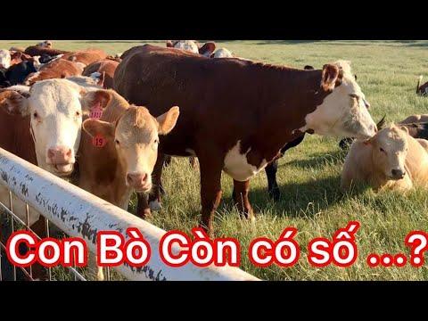 Khám Phá Nước Mỹ cùng Un family- Con Bò, bò cũng có số   | Discover America 12|