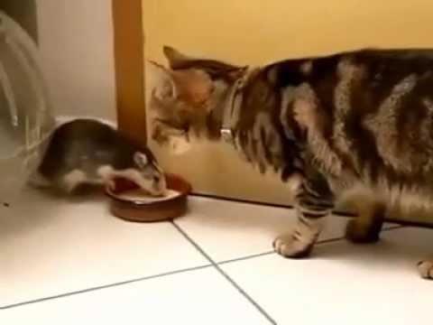 Con mèo hiền nhất thế giới để cả chuột giành phần ăn
