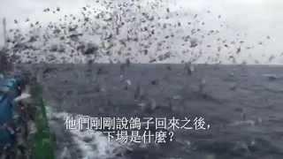 台灣賽鴿產業揭露:數百萬隻鴿子喪命