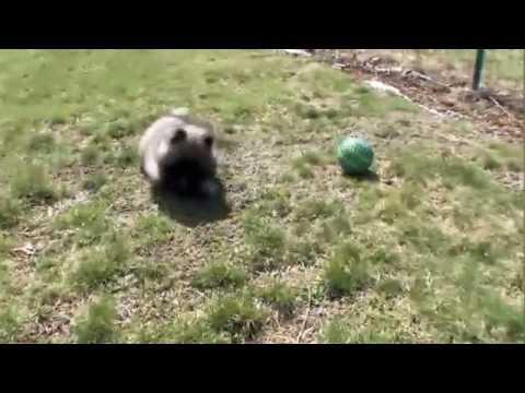 Dog Breeds - Keeshond. Dogs 101 Animal Planet