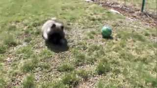 Dog Breeds  Keeshond. Dogs 101 Animal Planet