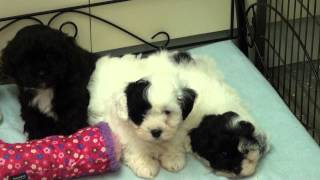 Little Rascals Uk breeders New litter of Maltipoo