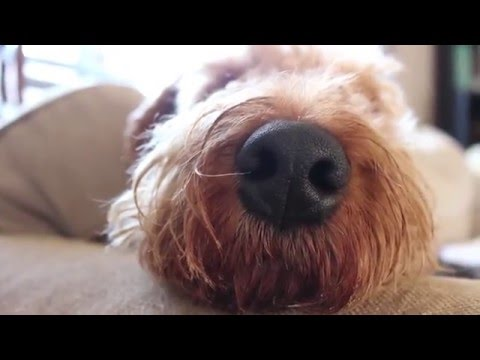 All About Airedale Terriers