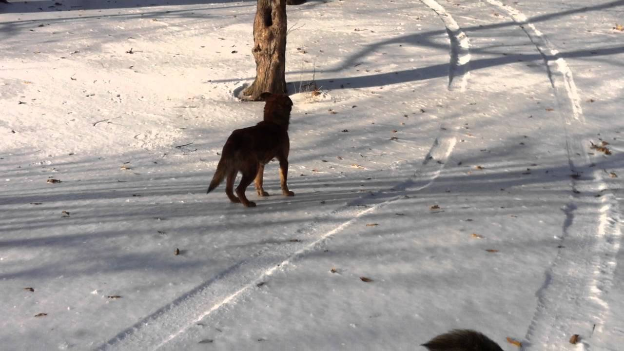 dogs chasing squirrels youtube
