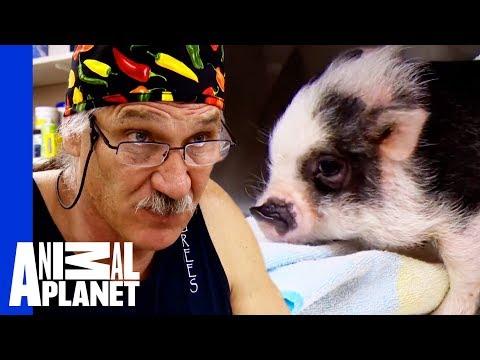 Bentley The Adorable Micro Pig Needs Risky Surgery   Dr. Jeff: Rocky Mountain Vet