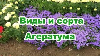 видео Агератум, долгоцветка (Аgeratum L.)