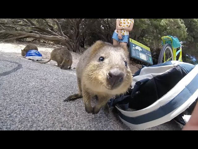 Adorable Quokka Wants A Cuddle