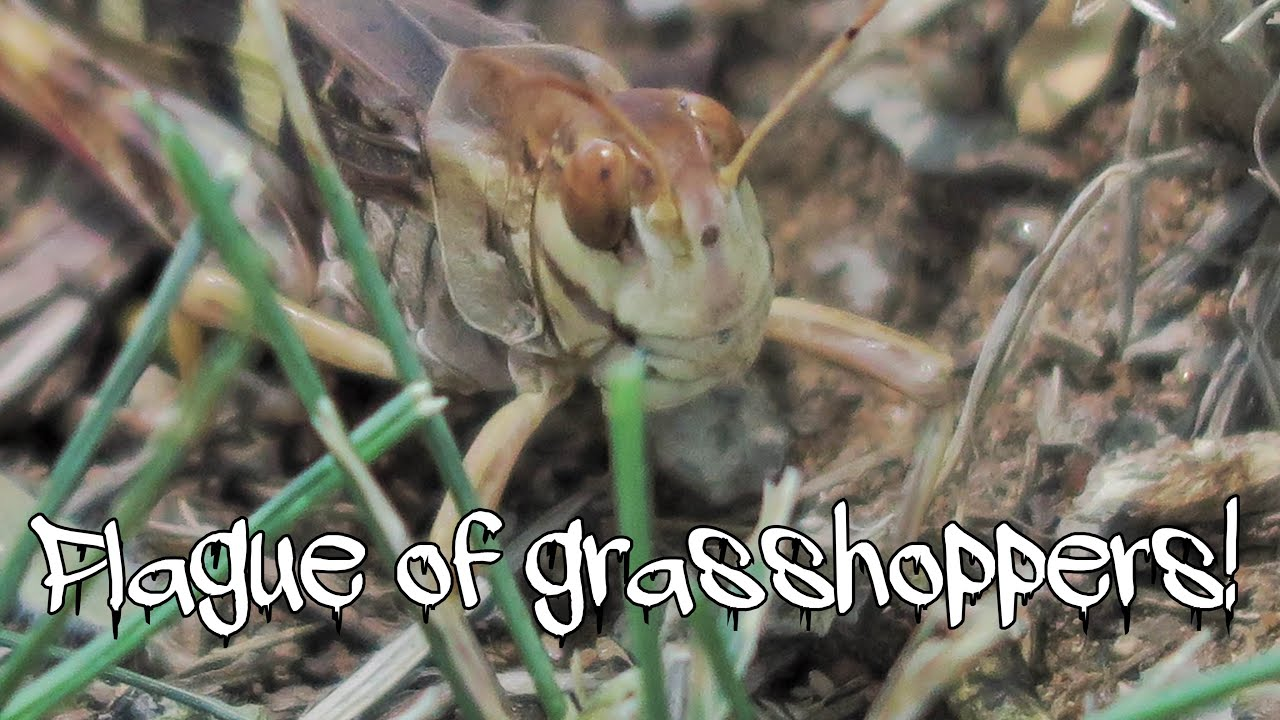 Plague of grasshoppers! - YouTube