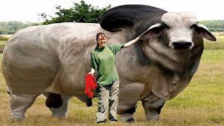 Невероятные Технологии Выращивания Гигантских Животных