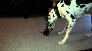 Great Dane and Weiner dog puppy