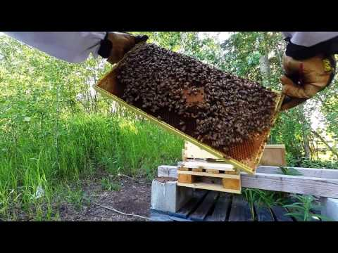 Week 8 Flow hive Full Inspection Beginning Beekeeping in Alaska 2016