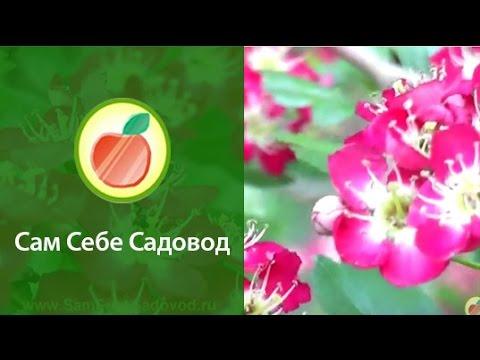Фото созревшая авйва