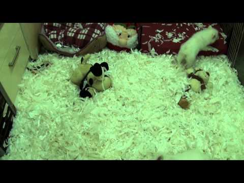 Little Rascals Uk breeders New litter of Japanese Spitz babies